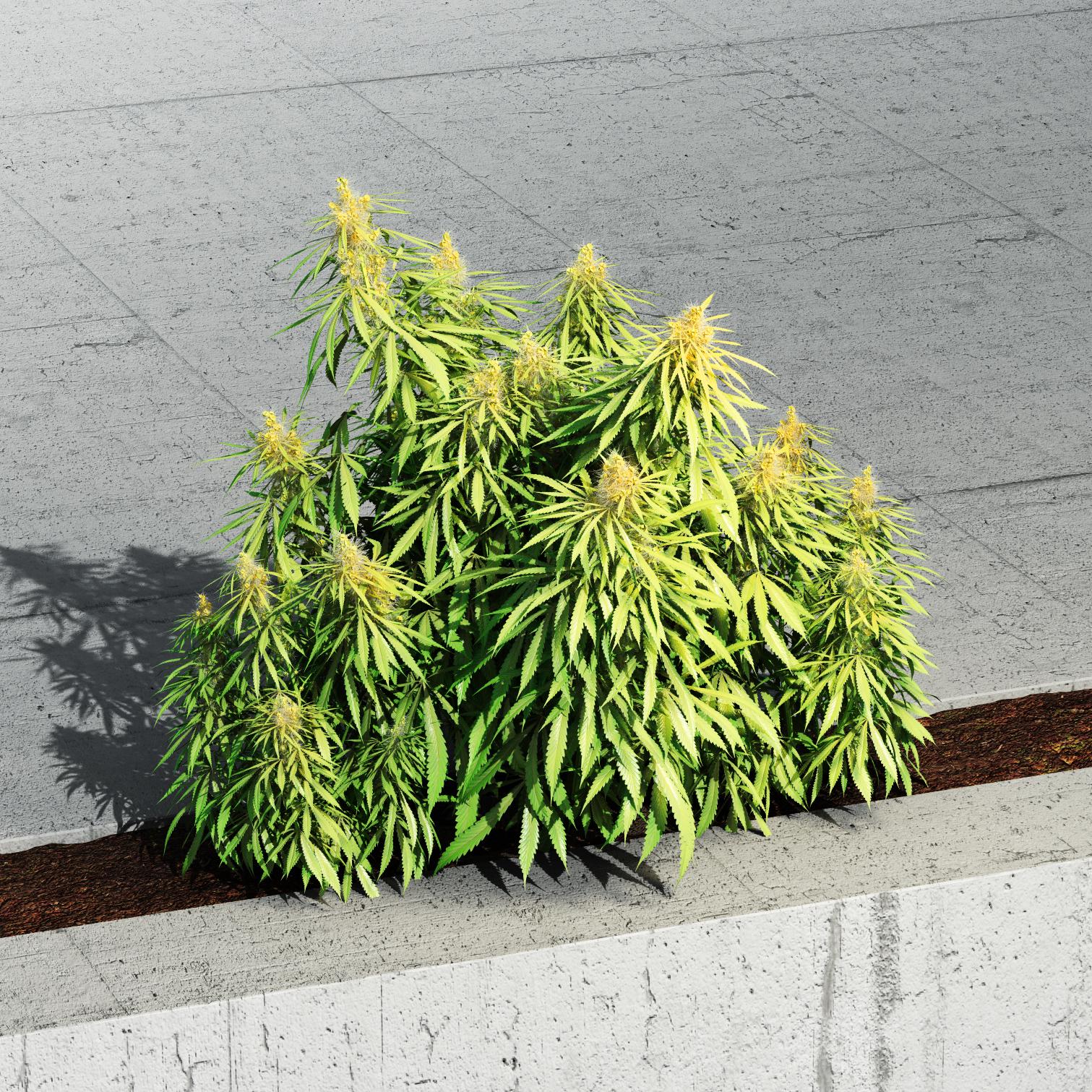 YIPPIEHEY_BilanzEditorial_Cannabis